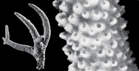 34-A-cervicornis_03-1.jpg