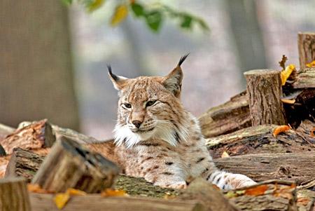 Lynx_Vosges.jpg