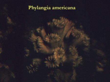 25Phyllangia_americana-1.jpg
