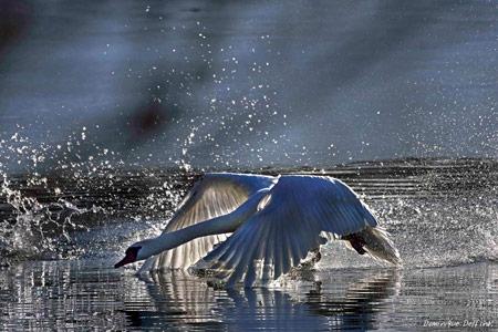 cycgne tuberculé,comportement territorial,dominique delfino,photographe naturaliste et animalier