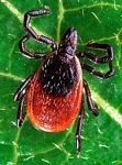 Ixodes scapularis (T du chevreuil)-1.jpg