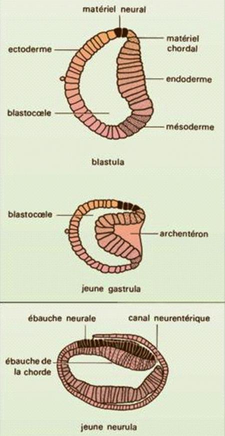 Amphioxus-embryon.jpg