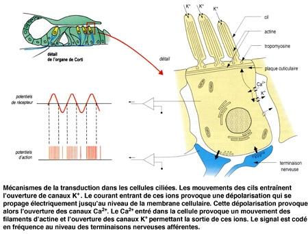 Figure12-Transduction-dans-les-cellules-ciliées-450.jpg