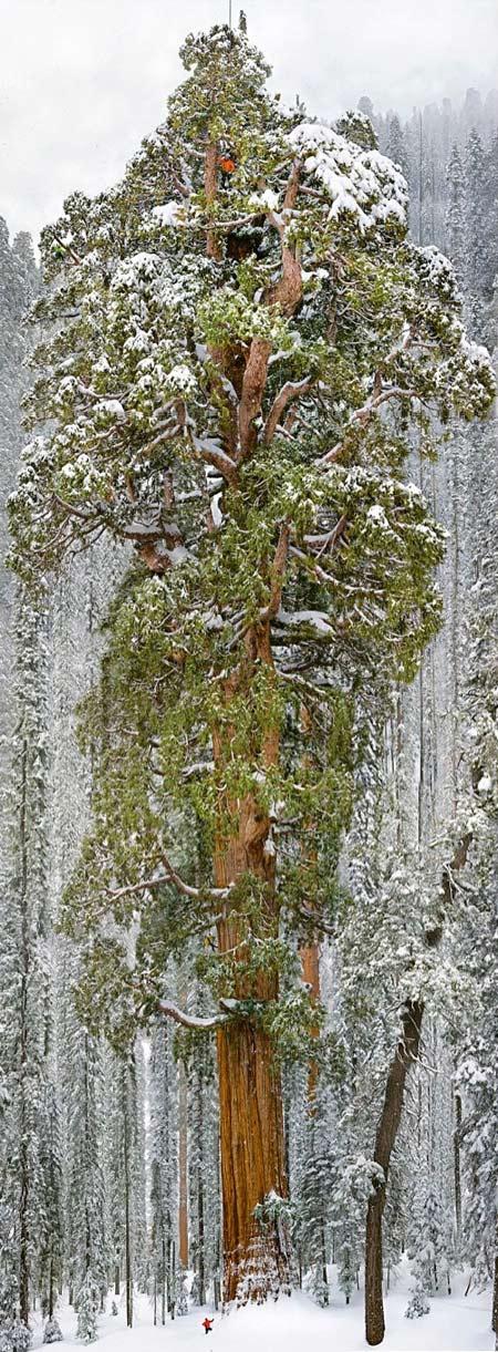 Séquoia-le-Président_06-450.jpg