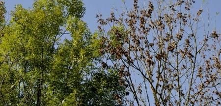 chalarose du frêne,champignons,hyphomycètes,ascomycètes,phytopathologie,sylviculture,forêts