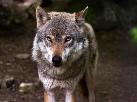 90 loups tués en France-450.jpg
