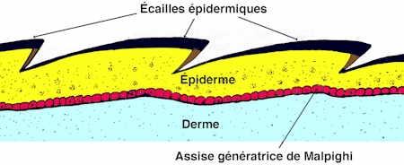 iguane02-peau-1.jpg