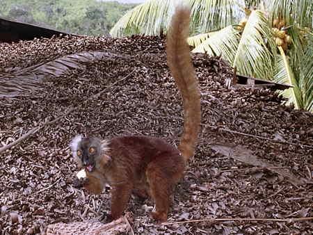 Eulemur macaco_3-1.jpg