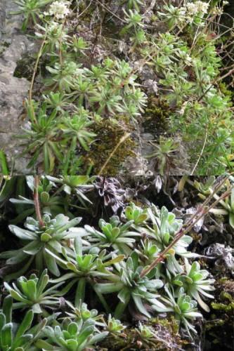 Saxifrage paniculée (Saxifraga paniculata)1.jpg