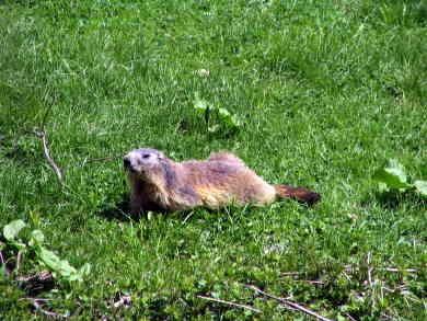 Marmota marmota011.jpg