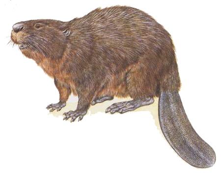 castor fiber,castor canadensis,bièvre