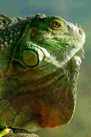 Iguana_iguana_fanon-1.jpg