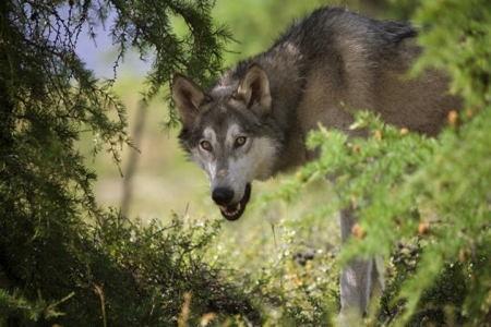 loup,prédation,massif jurassien,stratégie de prédation