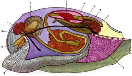 anodonta-coupe sagittale-1.jpg