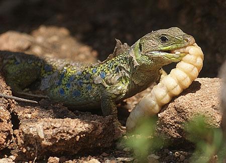 reptiles,sauriens,lacertidés,lézard ocellé