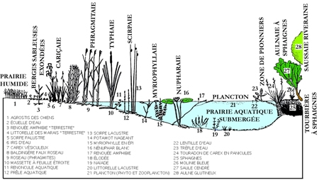 7.lacs_végétation-littorale-450.jpg