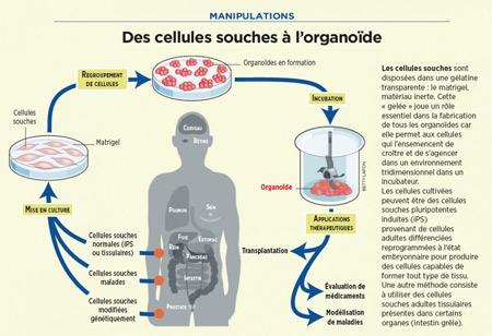 Des-cellules-souches-à-l'organoïde-450.jpg