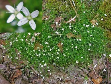 Moehringie mousse, Sabline mousse (Moehringia muscosa)01951.jpg