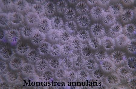 047Montastrea annularis41-1.jpg
