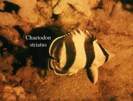 160Chaetodon striatus2-1.jpg