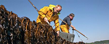 Récolte-d-algues-brunes-450.jpg