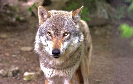 abattage de loups,aspas
