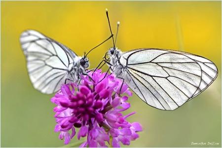 dominique delfino,photographe naturaliste et animalier,insectes,papillon,Aporia crataegi,gazé,piéride de l'aubapine