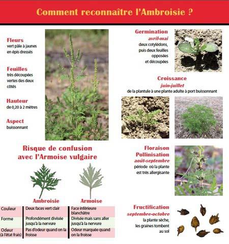 Ambroisie-3-450.jpg