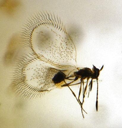 2-Mymaromatidae-1.jpg