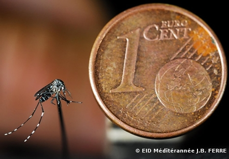 moustique-tigre,aedes albopictus,dengue,chikungunya,zika,hugo jalinière,sciences et avenir