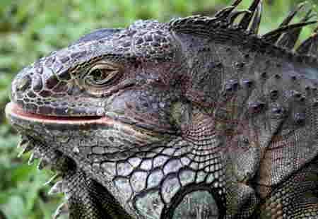 Iguana iguana_Red Butler-1.jpg