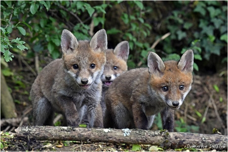 renard,renardeaux,dominique delfino,photographe naturaliste et animalier