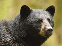 ours noir,mammifères,usa,canada