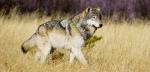 Loup - © ARDEA-MARY EVANS-SIPA.jpg