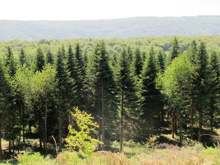Forêt-de-Thise_15-parcelle-50-résineux-Douglas-450.jpg