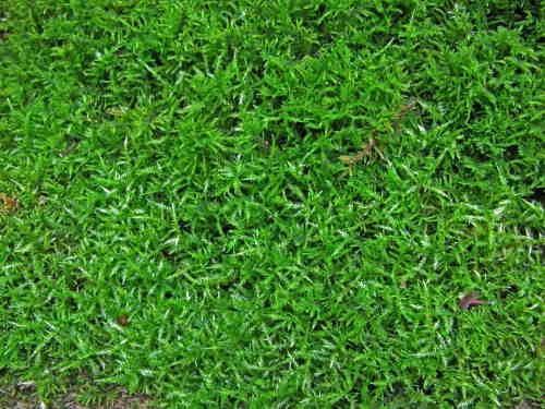 Cirriphyllum piliferum.jpg