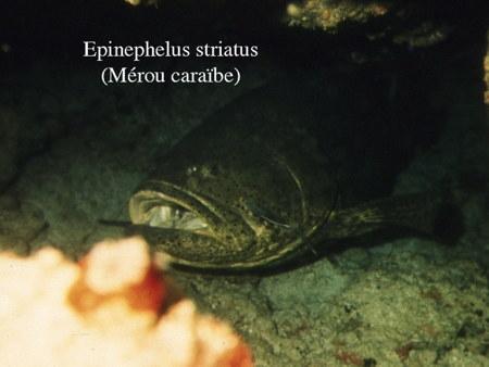 167Epinephelus striatus2-1.jpg