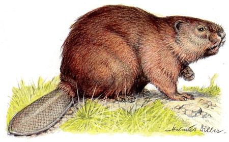 Castor-d'Eurasie-450.jpg