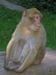 Macaque de Barbarie_13_logo.jpg