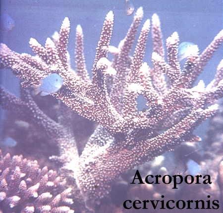 33Acropora cervicornis1-1.jpg
