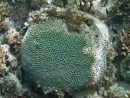 Diploria-blanchi-01-1.jpg
