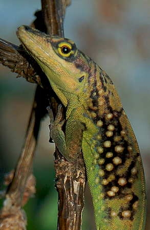Anolis roquet_Martinique-1.jpg