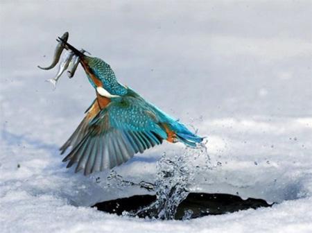 poissons,alcedinidae,eau douce