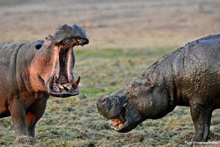 Hippopotames-450.jpg