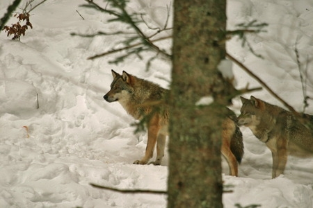 Loup 3_E.Cretin-1.jpg