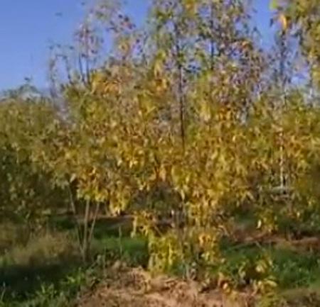 Chalarose-jeunes-frênes-450.jpg