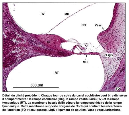 Figure10-Détail-de-l'oreille-interne-450.jpg