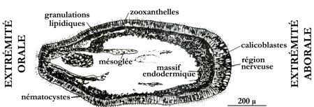 coraux_larve_planula-1.jpg