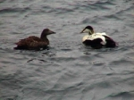 Eider_couple_logo.jpg