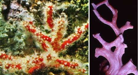 corail rouge03_04-1.jpg